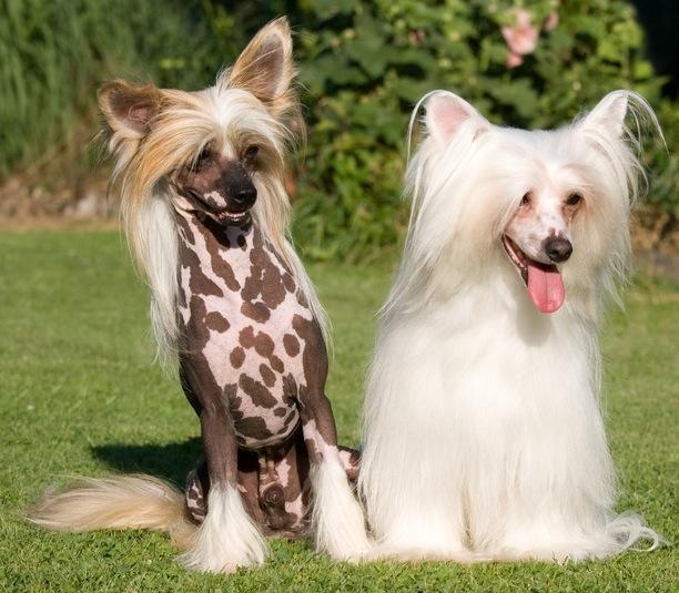 De Chinese gekuifde naakthond en de Powderpuff