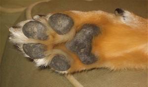 scheurtjes voetzool hond